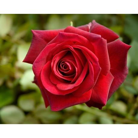 Rosa 'Edith Piaf' - Rosaceae - Rosier nain à bouquet