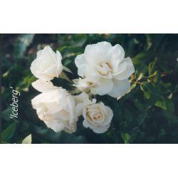 Rosa 'Iceberg' - Rosaceae - Rosier