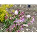 Cytisus scoparius 'Moyclare Pink' - genêt