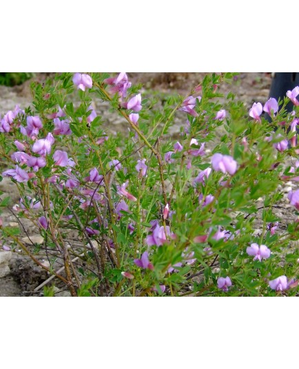 Cytisus purpureus