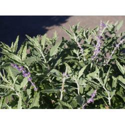 Perovskia atriplicifolia 'Silvery Blue'