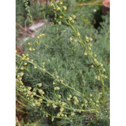 Artemisia chamaemelifolia