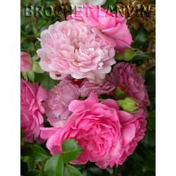 Rosa 'Paul Ploton' - Rosaceae -