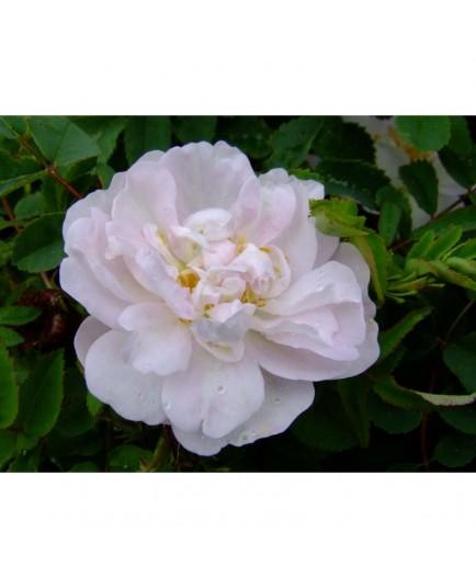Rosa 'Mon amie Claire' - Rosaceae - Rosier