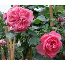 Rosa  'Leonard de Vinci' - Rosaceae -
