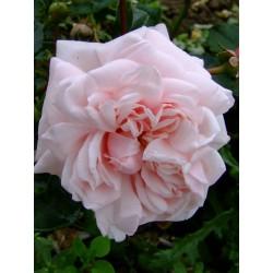 Rosa 'Awakening' - Rosaceae -