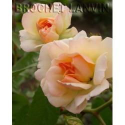 Rosa  'Phyllis Bide' - Rosaceae - Rosier