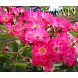 Rosa 'Robin Hood' - Rosaceae - Rosier