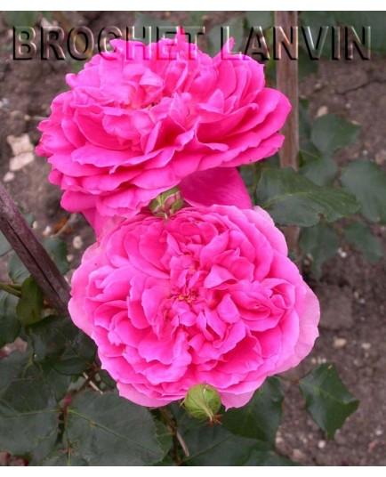 Rosa 'Pink Cloud' - Rosaceae - Rosier