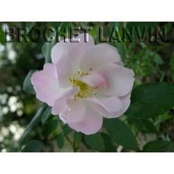 Rosa  'Sourire d'Orchidee' - Rosaceae - Rosier