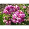 Rosa  'Hermann Schmidt' - Rosaceae - rosier