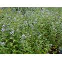 Caryopteris clandonensis x 'Kew Blue' -Caryoptéris de Clandon, Barbe bleue