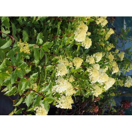Hydrangea paniculata 'Diamantino'