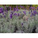 Lavandula angustifolia 'Hidcote' - Lavande à feuilles étroites, Lavande officinale