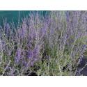 Perovskia atriplicifolia 'Little Spire'® -Spirée d'afghanistan