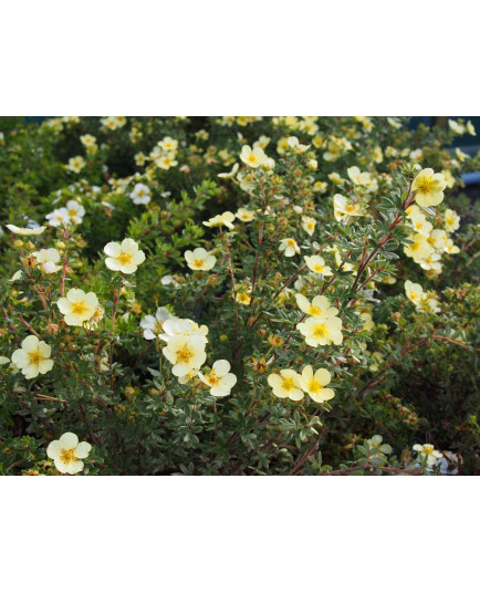 Potentilla fruticosa 'Tilford Cream' - potentilles