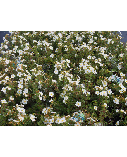 Potentilla fruticosa 'Abbotswood' - potentilles, comarums,