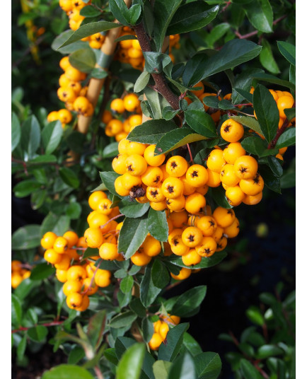 Pyracantha 'Golden Charmer' - buisson ardent