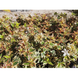 Abelia grandiflora x ' Lady Peach' ®