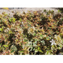 Abelia grandiflora x ' Lady Peach'