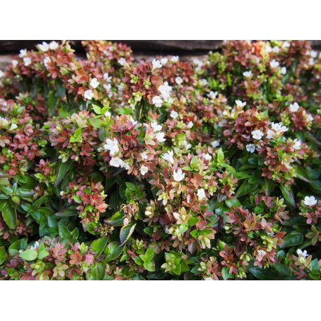 Abelia grandiflora x 'Little Lady'