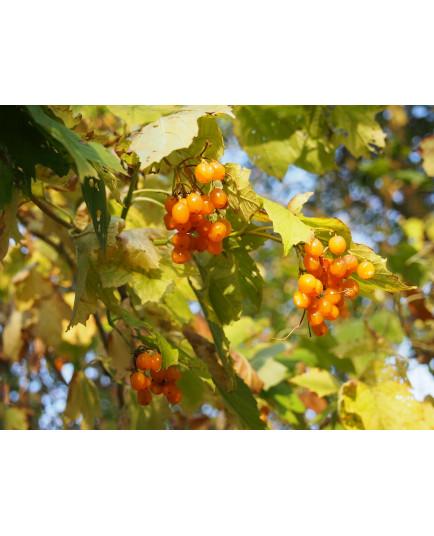 Viburnum opulus ' Xanthocarpum' - viorne obier à fruits jaunes
