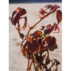 Hydrangea anomala glabra ' Crug Coral'