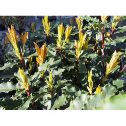 Photinia serratifolia 'Crunchy' ®