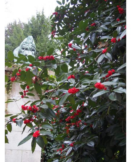 Ilex koehneana x 'Chestnut Leaf' - houx à feuille de châtaignier