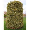 Ilex aquifolium 'Madame Briot'