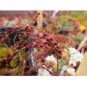 Salix furcata