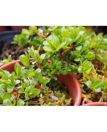 Salix sp. 'Kamp 2'