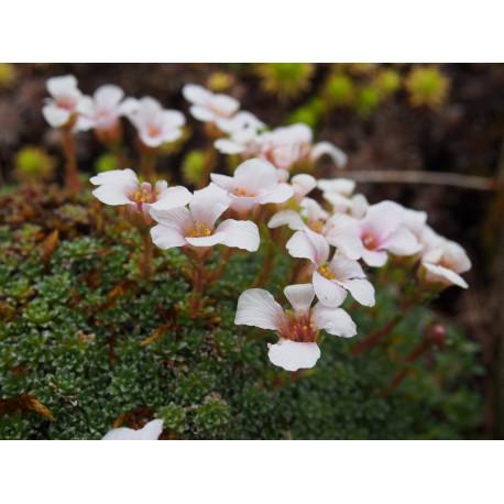 Saxifraga irvingii x 'Mother of Pearl' - Saxifrage