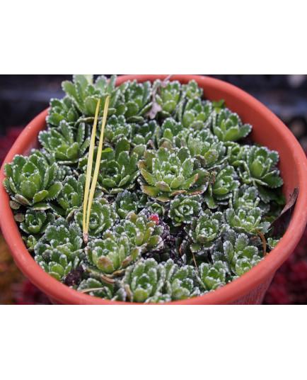 Saxifraga paniculata 'Minor' - Saxifrage