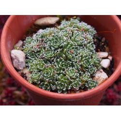 Saxifraga paniculata 'Minutifolia' - Saxifrage