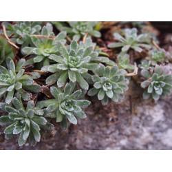 Saxifraga paniculata 'Dr Clay'