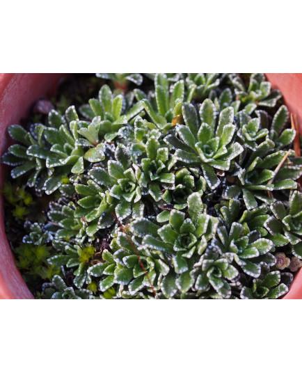 Saxifraga paniculata 'Venetia' - Saxifrage