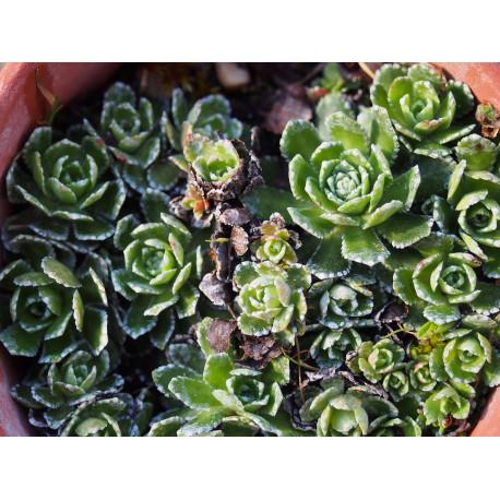 Saxifraga paniculata 'Correvoniana' - saxifrage