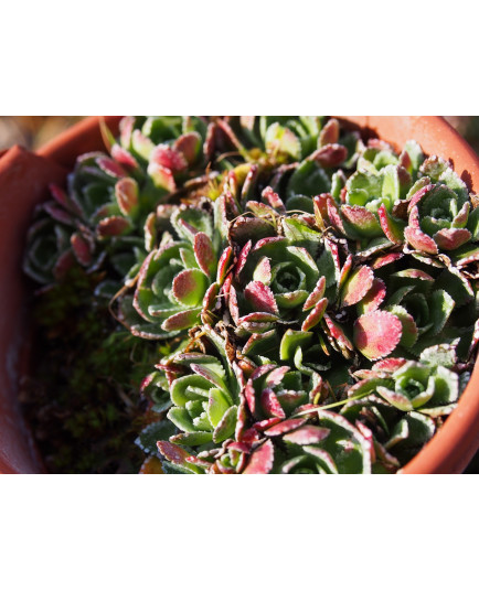 Saxifraga paniculata 'Atropurpurea'