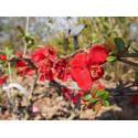 Chaenomeles speciosa 'Red Kimono'® - Cognassier du japon