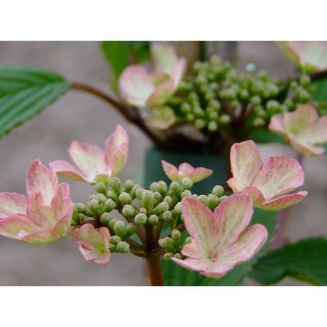 Viburnum plicatum 'Kilimandjaro Sunrise'® - viorne à plateaux