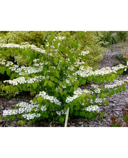 Viburnum plicatum 'Kilimandjaro' - Viorne du japon, viorne à plateaux