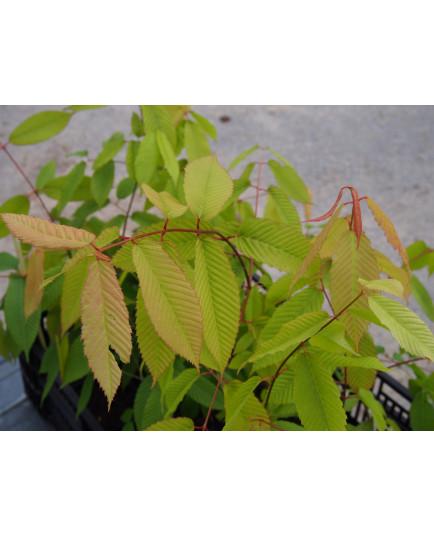 Acer carpinifolium