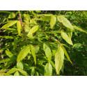 Acer trilorum