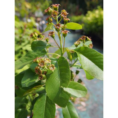 Amelanchier alnifolia 'Saskatoon Berry'