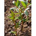 Salix alba vitellina ' Golden Ness'