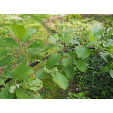 Salix caprea 'Mas'