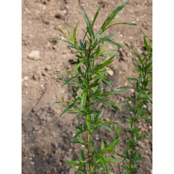 Salix chilensis