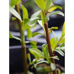 Salix rubens x 'Parson's'