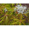 Elaeagnus angustifolia var. Caspica - Olivier de Bohême/Arbre d'argent